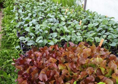 Jungpflanzen im Gewächshaus | SoLaWi Chiemgau