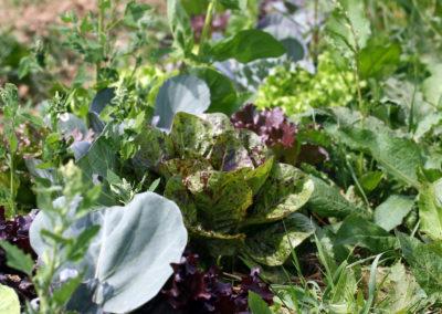 Salat und Gemüse | SoLaWi Chiemgau